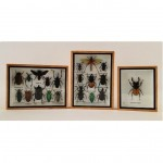 framed collection of antique insect taxidermy